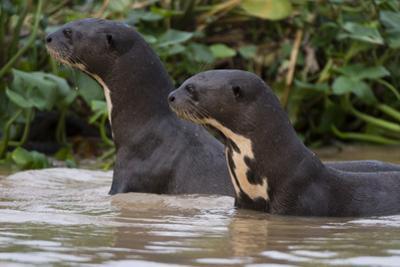 Giant river otter, Pantanal, Mato Grosso, Brazil. by Sergio Pitamitz