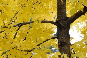 Golden Leaves on a Tree in Autumn by Sergio Pitamitz