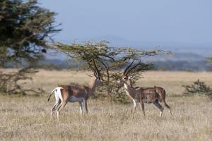 Grants Gazelle (Gazella Granti), Samburu National Reserve, Kenya, East Africa, Africa by Sergio Pitamitz