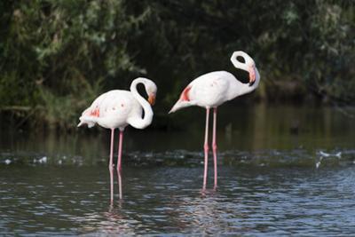 Greater Flamingo (Phoenicopterus Roseus), Camargue, Provence-Alpes-Cote D'Azur, France, Europe by Sergio Pitamitz
