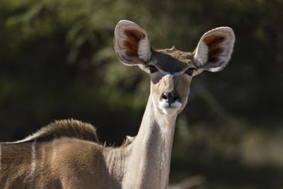 Greater kudu (Tragelaphus strepsiceros), Kalahari, Botswana, Africa by Sergio Pitamitz