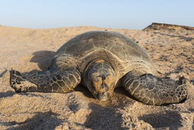 Green Turtle, Ras Al Jinz, Oman. by Sergio Pitamitz