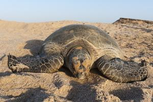 Green Turtle, Ras Al Jinz, Oman. by Sergio Pitamitz