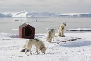 Greenland Dogs, a Breed of Husky, with Disko Bay in the Background by Sergio Pitamitz