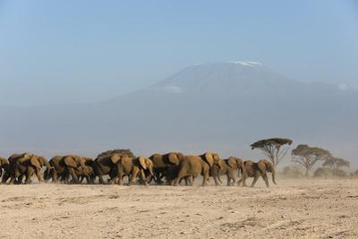 Herd of African Elephants, Loxodonta Africana, with Mount Kilimangiaro in the Background by Sergio Pitamitz