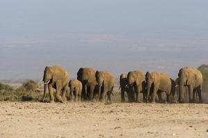 Herd of African Elephants Walking in the Plains of Amboseli National Park by Sergio Pitamitz