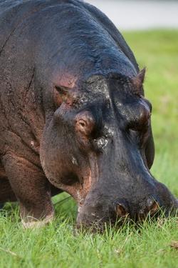 Hippopotamus Grazing, Chobe National Park. by Sergio Pitamitz