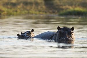 Hippopotamus (Hippopotamus Amphibius), Khwai Concession, Okavango Delta, Botswana, Africa by Sergio Pitamitz