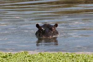 Hippopotamus, Masai Mara by Sergio Pitamitz