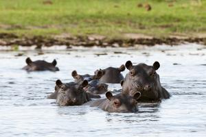 Hippopotamus, Okavango Delta by Sergio Pitamitz