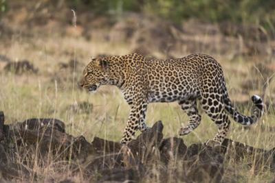 Leopard, Panthera pardus, Masai Mara, Kenya. by Sergio Pitamitz