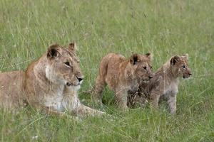 Lion Cubs with Mother by Sergio Pitamitz