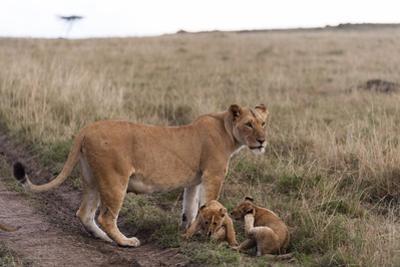 Lion (Panthera Leo), Masai Mara, Kenya, East Africa, Africa by Sergio Pitamitz