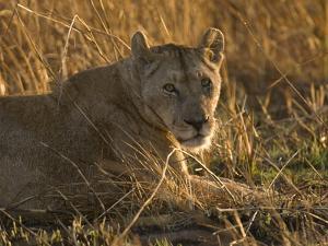 Lioness, Busanga Plains, Kafue National Park, Zambia, Africa by Sergio Pitamitz