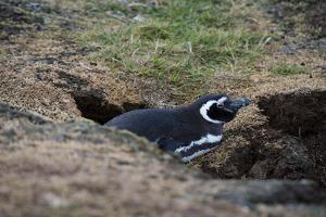 Magellanic penguin, Spheniscus magellanicus, at the entrance of its burrow. by Sergio Pitamitz