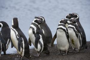 Magellanic penguins, Spheniscus magellanicus, on a water pond. by Sergio Pitamitz