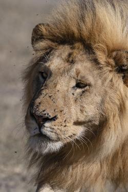 Male lion (Panthera leo), Ndutu, Ngorongoro Conservation Area, Tanzania, East Africa by Sergio Pitamitz