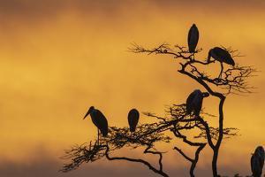 Marabou storks (Leptoptilos crumeniferus) perching on a tree at sunrise, Tanzania by Sergio Pitamitz