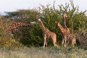 Masai Giraffe (Giraffa Camelopardalis), Samburu National Reserve, Kenya, East Africa, Africa by Sergio Pitamitz
