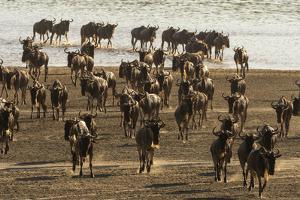Migrating wildebeest (Chonnochaetes tautinus) crossing Lake Ndutu, Serengeti, Tanzania, East Africa by Sergio Pitamitz