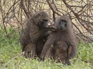 Olive Baboon (Papio Anubis), Samburu National Park, Kenya, East Africa, Africa by Sergio Pitamitz