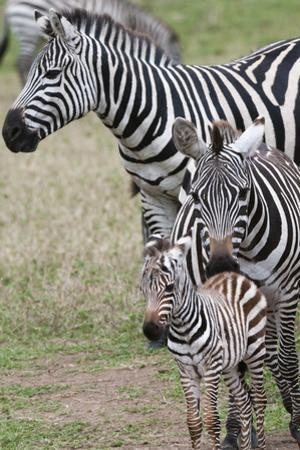 Plains Zebra (Equus Quagga), Masai Mara, Kenya, East Africa, Africa