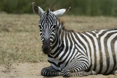 Plains zebra, Lake Nakuru National Park, Kenya. by Sergio Pitamitz