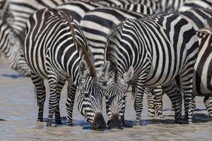 Plains zebras (Equus quagga), Ndutu, Serengeti, Tanzania, East Africa by Sergio Pitamitz