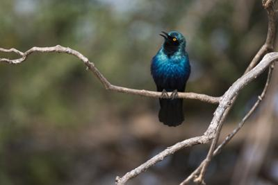 Portrait of a Cape Glossy Starling, Lamprotornis Nitens, on a Tree Branch
