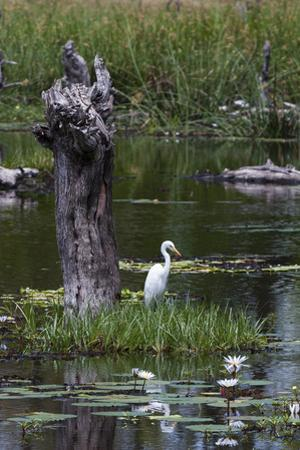 Portrait of a Great Egret, Ardea Alba, in an Okavango Swamp with Water Lilies in Bloom by Sergio Pitamitz