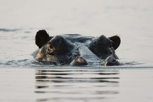 Portrait of a Hippopotamus, Hippopotamus Amphibius, Submerged in a River by Sergio Pitamitz