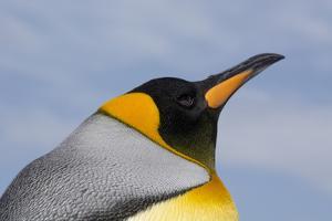 Portrait of a King penguin, Aptenodytes patagonica. by Sergio Pitamitz