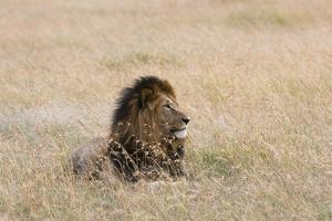 Portrait of a Male Lion, Panthera Leo, Masai Mara, Kenya by Sergio Pitamitz