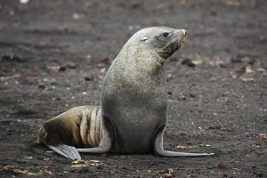 Portrait of an Antarctic fur seal (Arctocephalus gazella), Deception Island, Antarctica, Polar Regi by Sergio Pitamitz