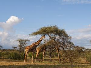 Reticulated Giraffe (Giraffa Camelopardalis Reticulata), Samburu National Park, Kenya, East Africa by Sergio Pitamitz