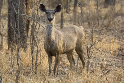 sambar deer (Rusa unicolor), Bandhavgarh National Park, Madhya Pradesh, India, Asia by Sergio Pitamitz