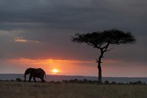 Silhouette of an African Elephants, Loxodonta Africana, Walking at Sunset by Sergio Pitamitz