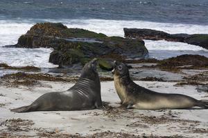 Southern elephant seals, Mirounga leonina, fighting. by Sergio Pitamitz