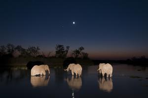 Three African Elephants, Loxodonta Africana, Drinking in the Khwai River at Night by Sergio Pitamitz