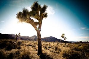 Usa, California, Joshua Tree National Park, Hidden Valley, Joshua Trees by Sergio Pitamitz