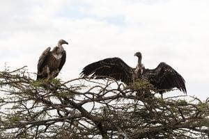 Vultures by Sergio Pitamitz