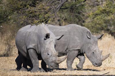 White rhinoceros (Ceratotherium simum), Kalahari, Botswana, Africa by Sergio Pitamitz