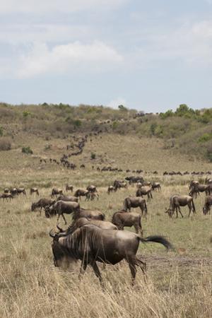 Wildebeest (Connochaetes Taurinus), Masai Mara, Kenya, East Africa, Africa by Sergio Pitamitz