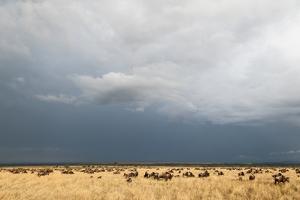 Wildebeest, Masai Mara, Kenya by Sergio Pitamitz