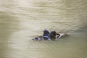 Yacare Caiman, Caiman Crocodylus Yacare, in the Cuiaba River by Sergio Pitamitz