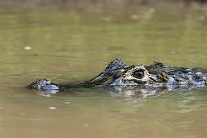 Yacare caiman (Caiman crocodylus yacare), Rio Negrinho, Pantanal, Mato Grosso, Brazil, South Americ by Sergio Pitamitz