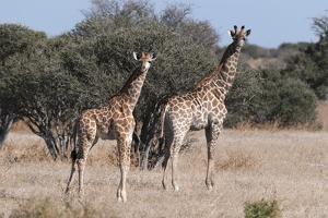 Southern Giraffe (Giraffa Camelopardalis), Mashatu Game Reserve, Botswana, Africa by Sergio