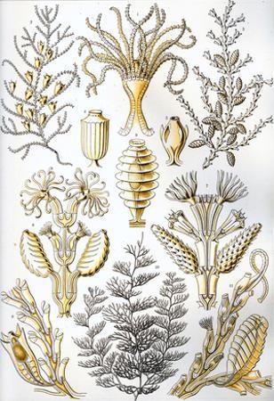 Sertulariae Nature Art Print Poster by Ernst Haeckel