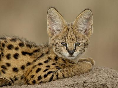 https://imgc.allpostersimages.com/img/posters/serval-cub-on-termite-mound-masai-mara-national-reserve-kenya-east-africa-africa_u-L-P7NLSW0.jpg?p=0