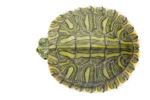 Red-Eared Slider (Trachemys Scripta Elegans) Juvenile Viewed From Above by Seth Patterson